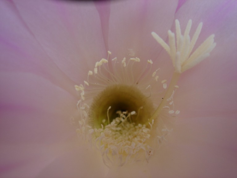 2012-07-Kaktusblüte